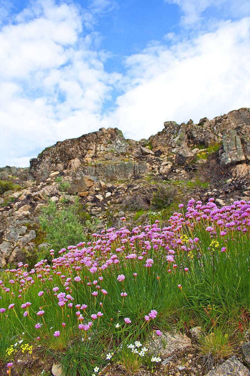 serraestrela flor armeria