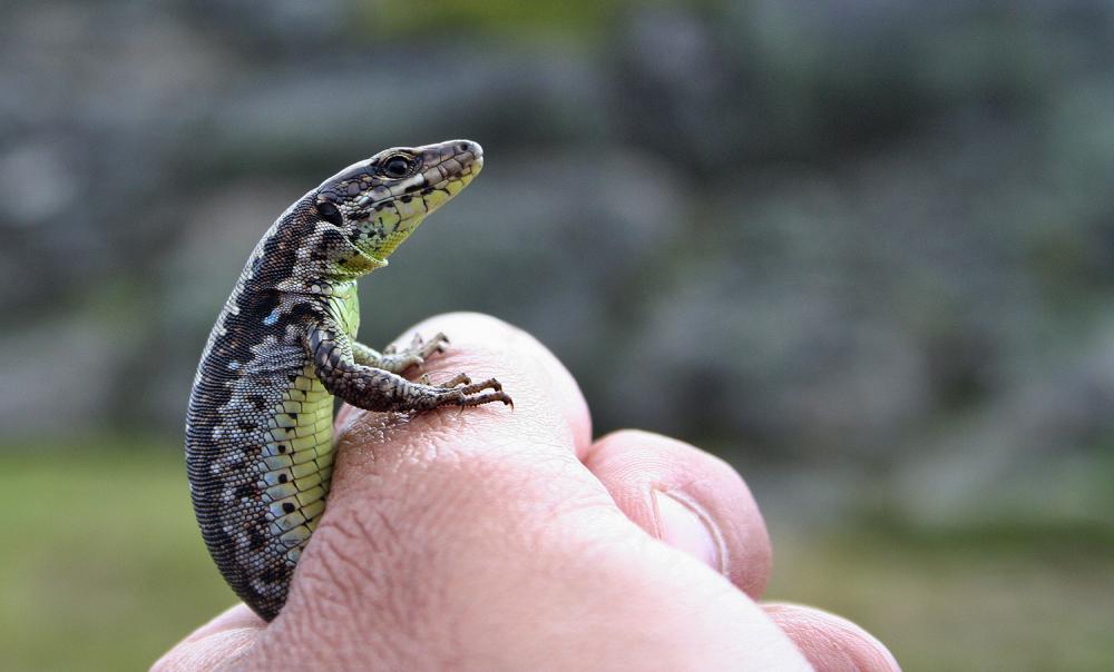 serraestrela lagartixa reptil