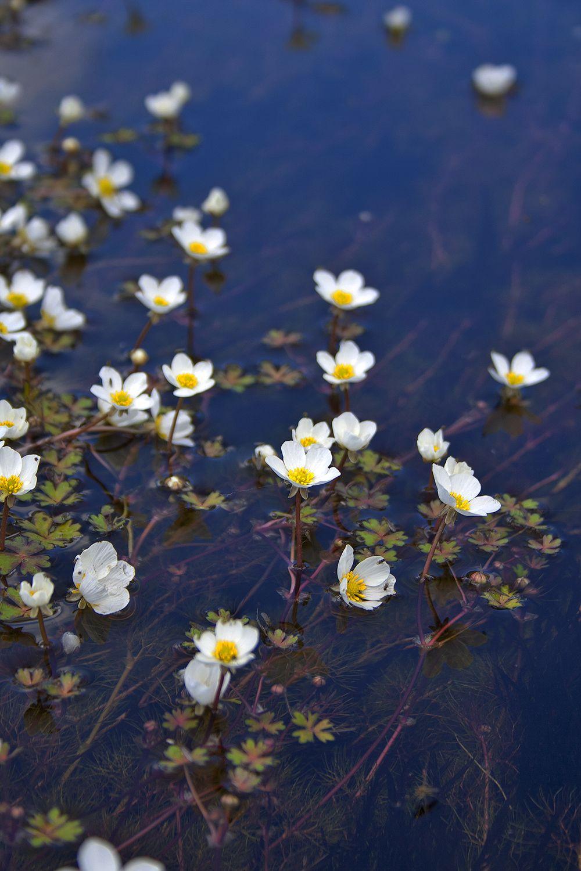 serraestrela flor