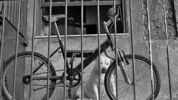 porto cão