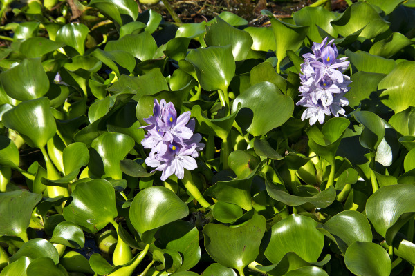 mira lagoa jacinto