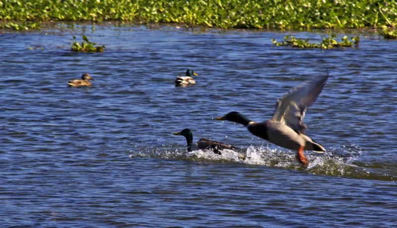 mira lagoa patos jacinto
