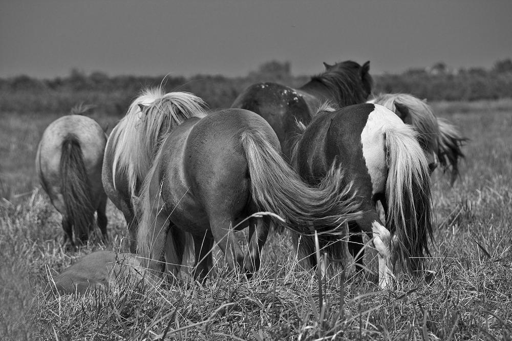 holanda ameide cavalo