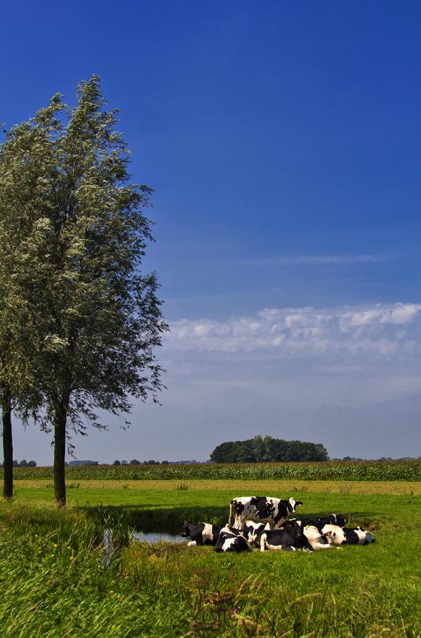 holanda ameide vaca