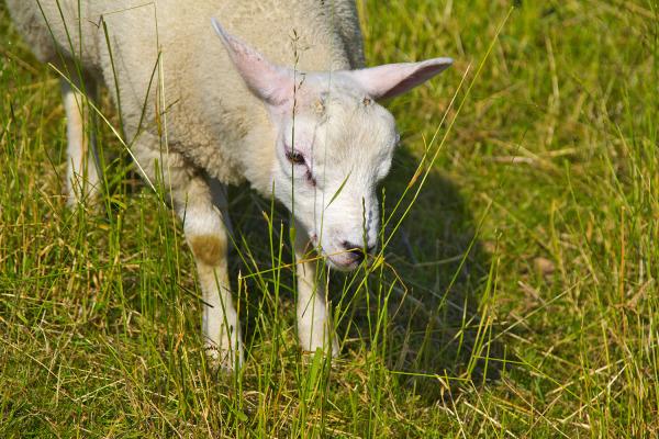 holanda ameide ovelha