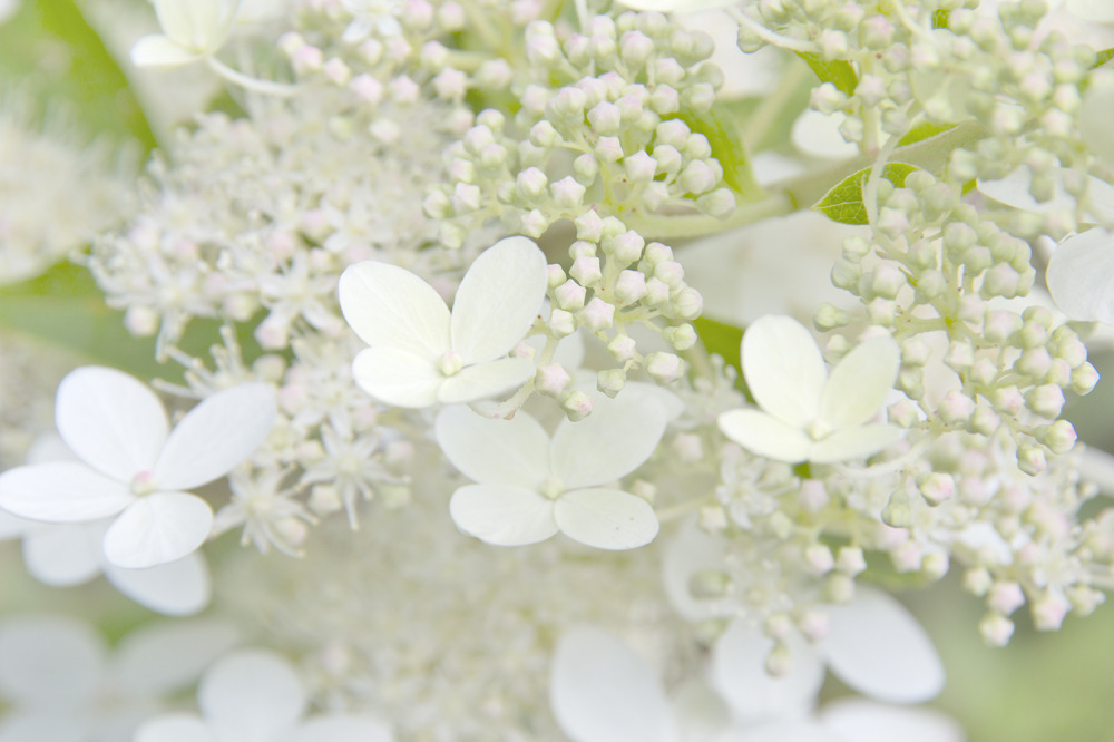 holanda utrecht flor hortência
