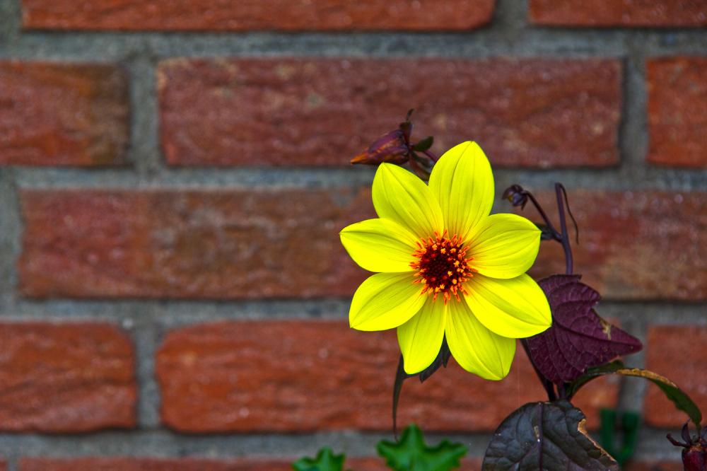 holanda flor Volendam