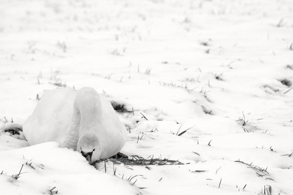 holanda cisne ave ameide inverno