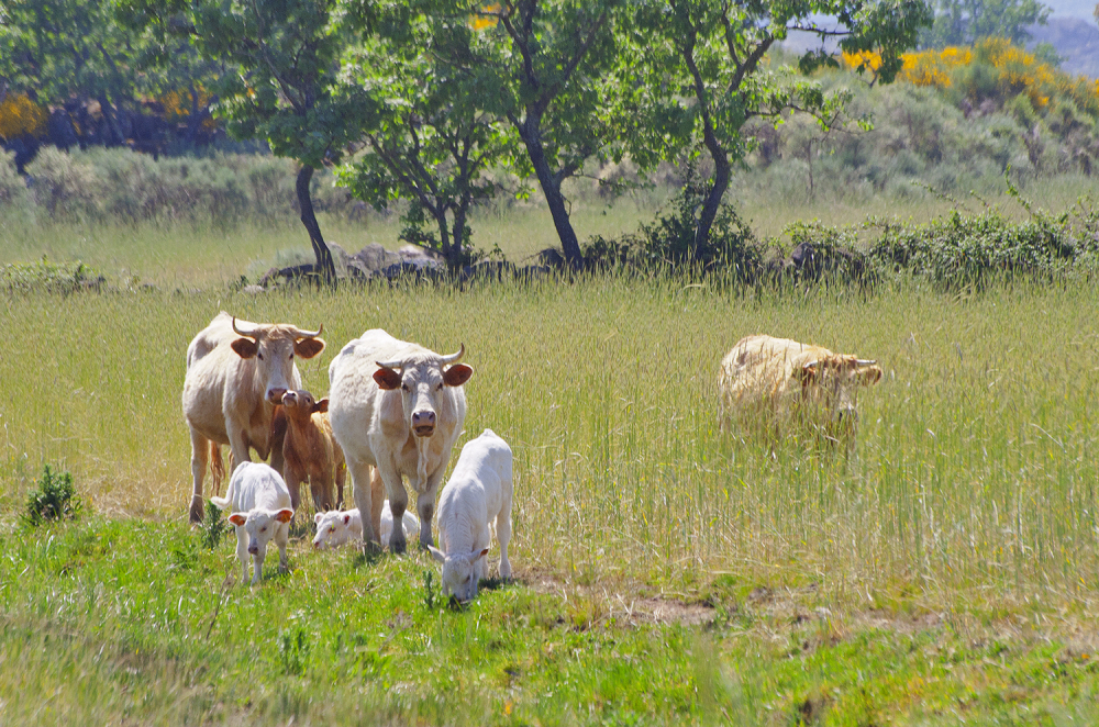 alentejo castelo-de-vide vaca