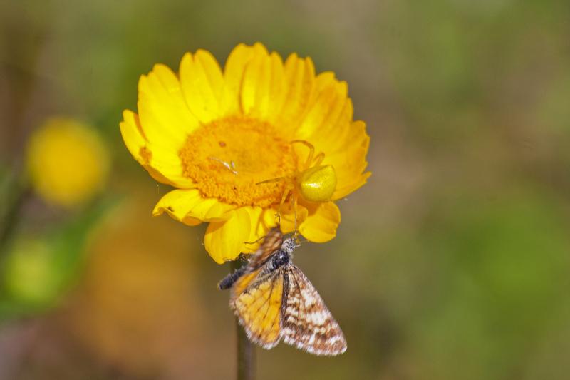 alentejo castelo-de-vide flor aranha borboleta