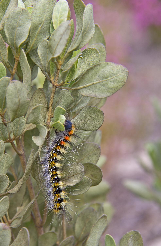 lagarta borboleta