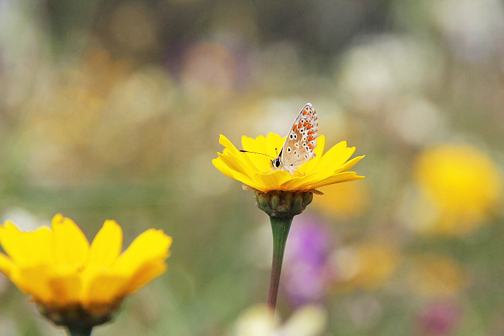 borboleta alentejo flor