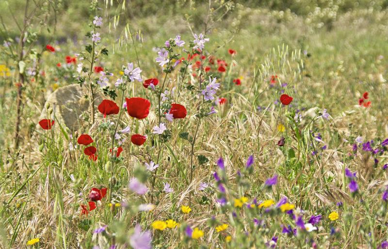 alentejo flor papoilas