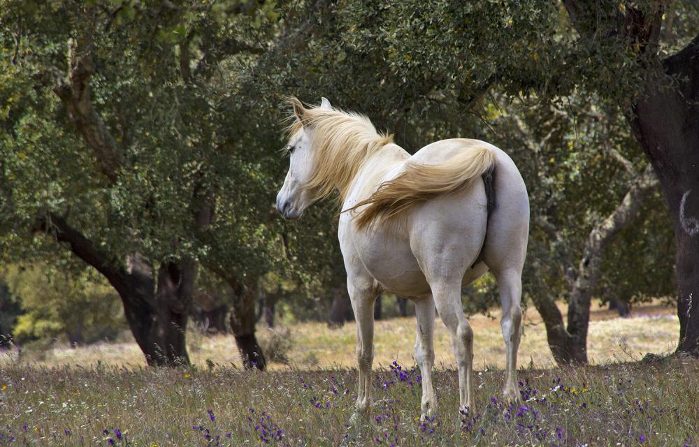 cavalo alentejo