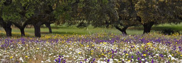 alentejo flor  montado arvore