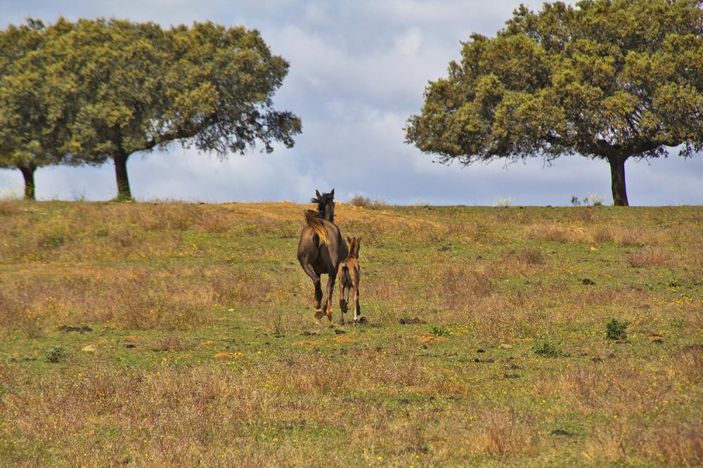 alentejo cavalo