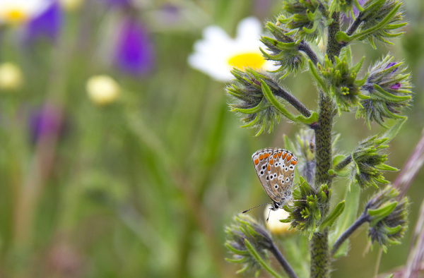 alentejo borboleta