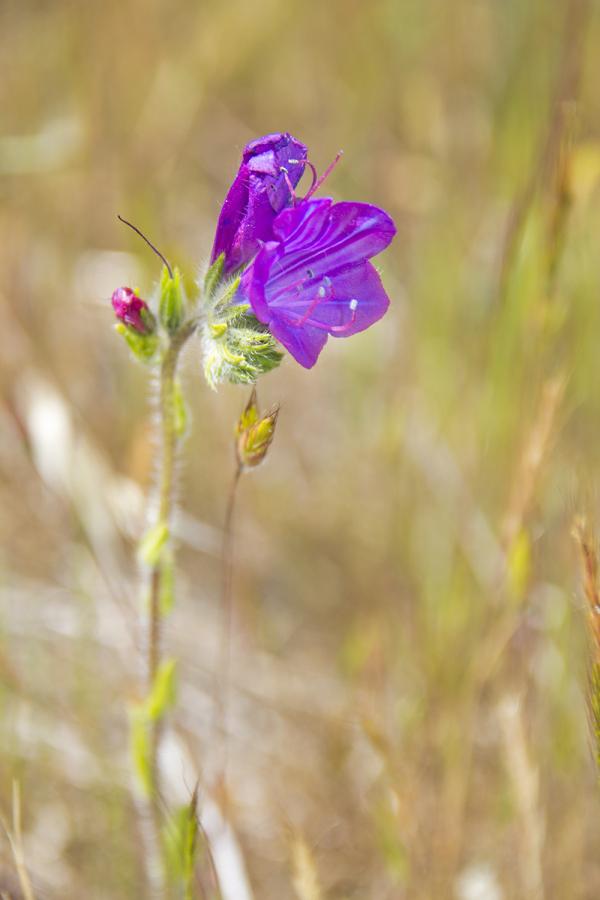 alentejo flor