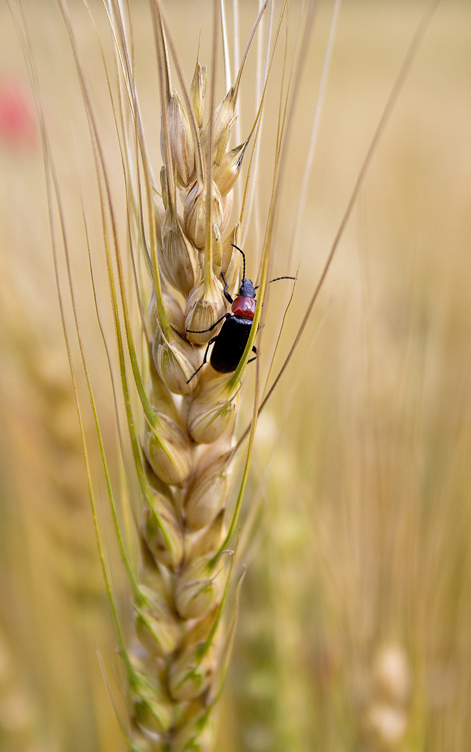 insecto coleoptera