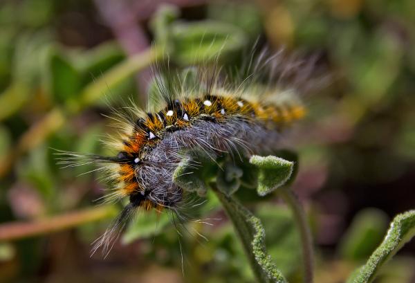 borboleta lagarta