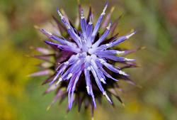 flor cardo