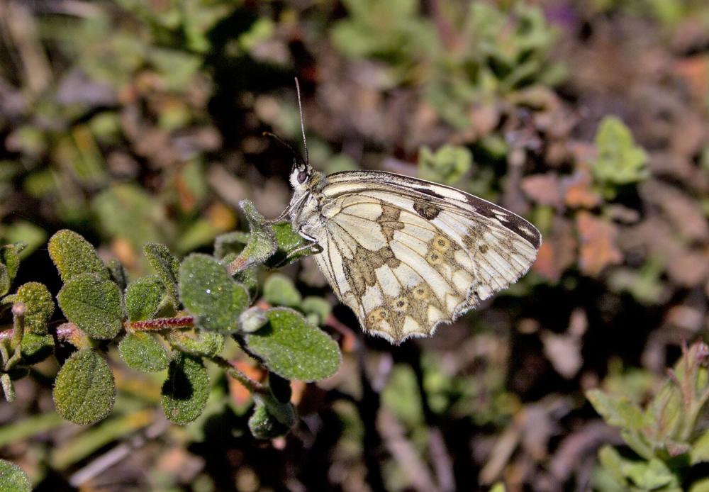 borboleta  serra-montejunto