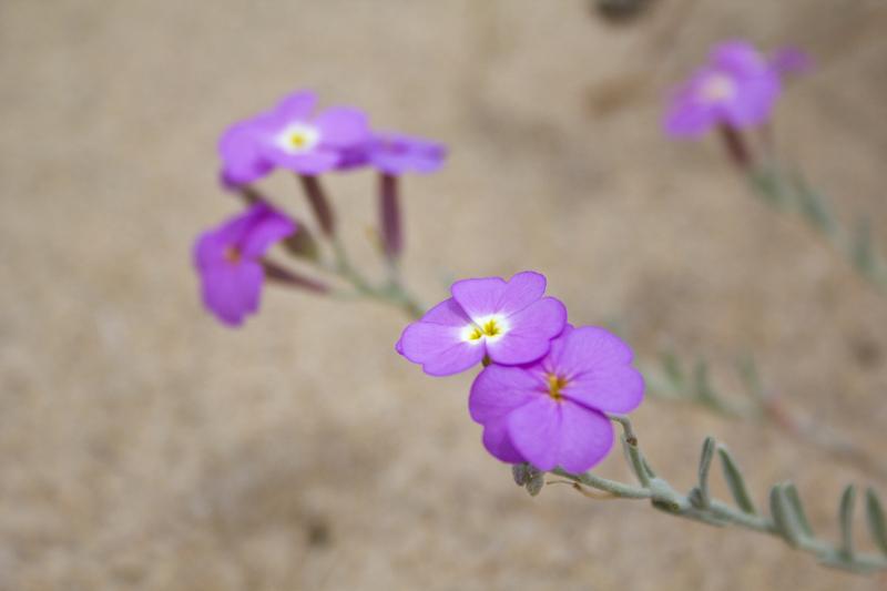 flor dunas s-martinho-do-porto