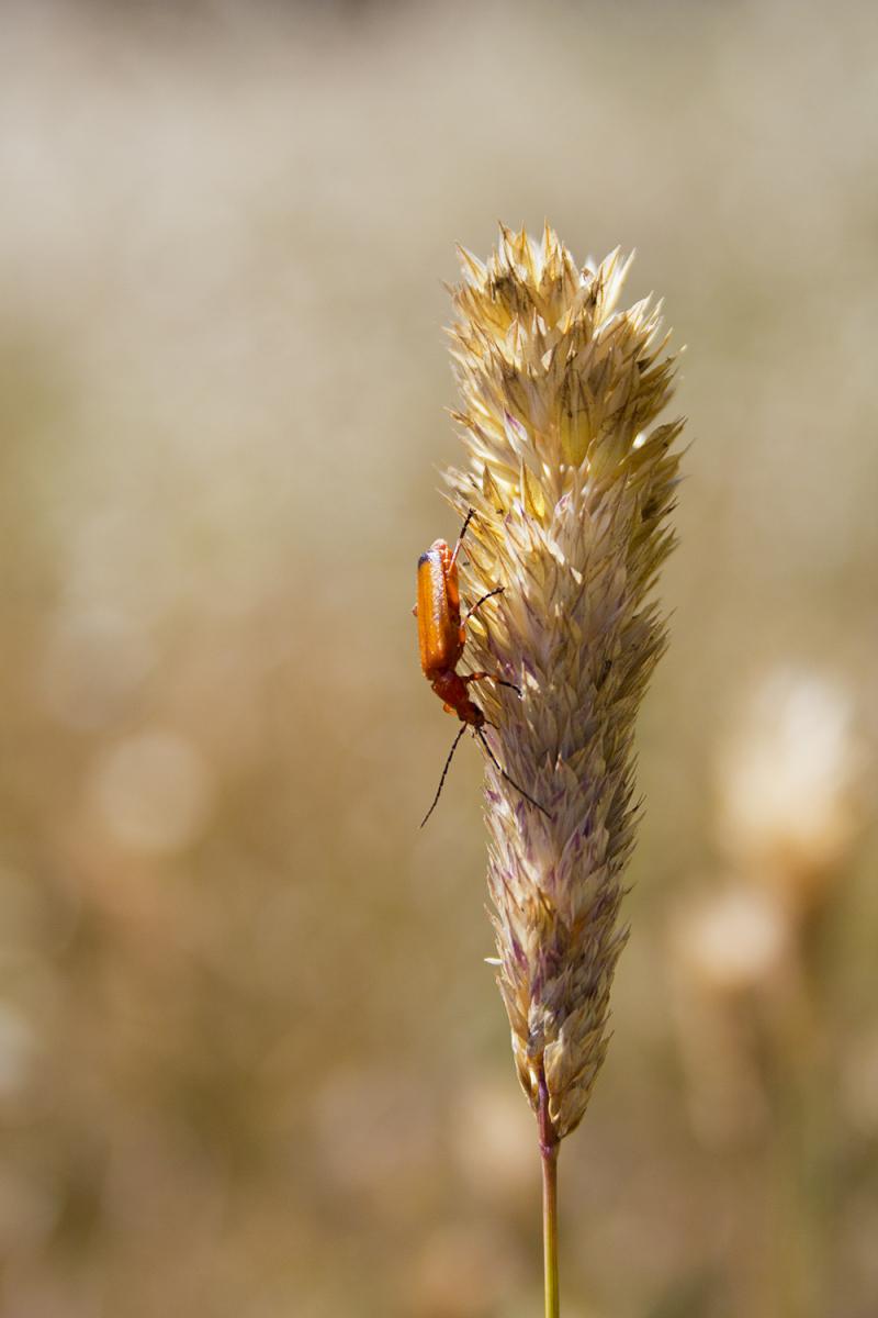 insecto serra-montejunto flor coleoptera