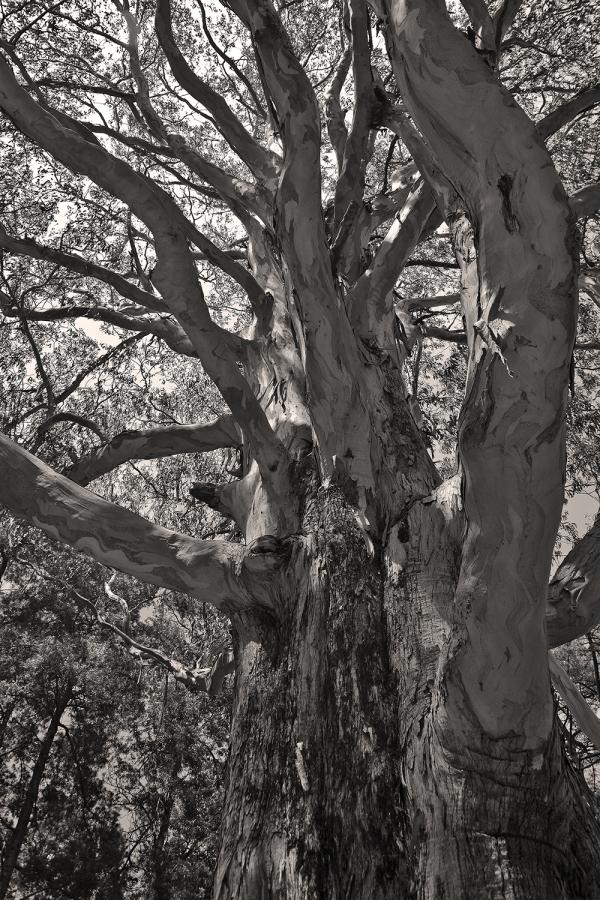 arvore eucalipto