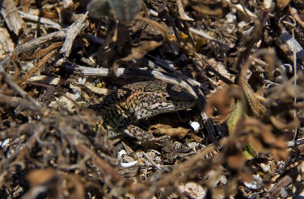 berlengas sardanisca reptil