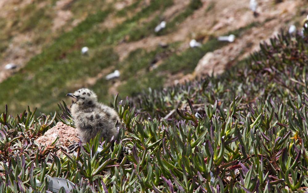 berlengas gaivota  verão