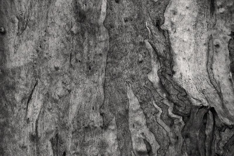 arvore eucalipto jardimbotanico coimbra
