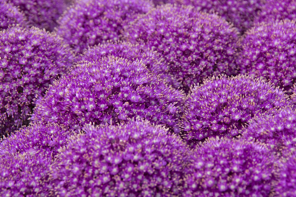 holanda alkmaar flor