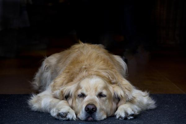 holanda marken cão