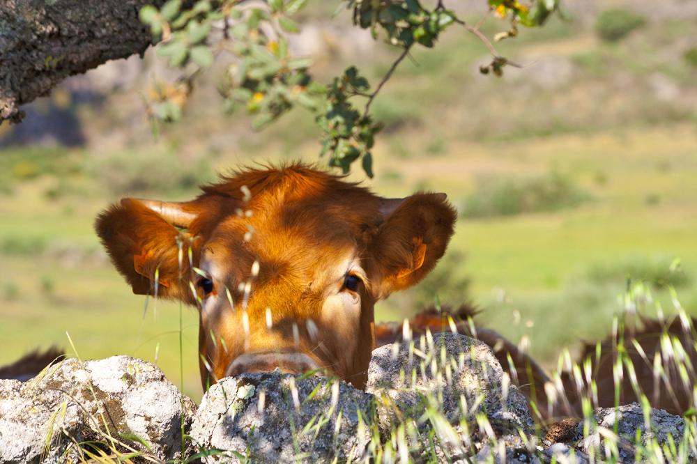 alentejo vaca