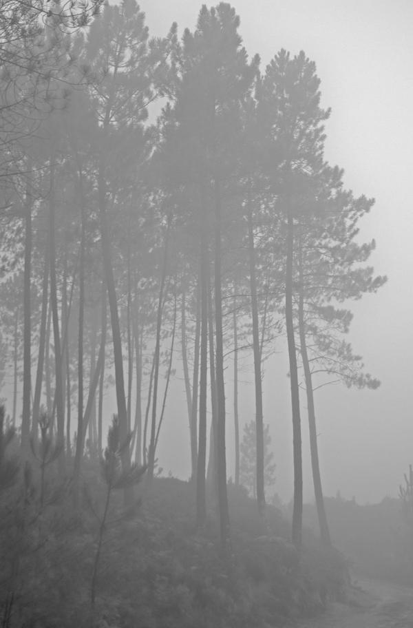 peneda-gerês pinhal árvore nevoeiro outono