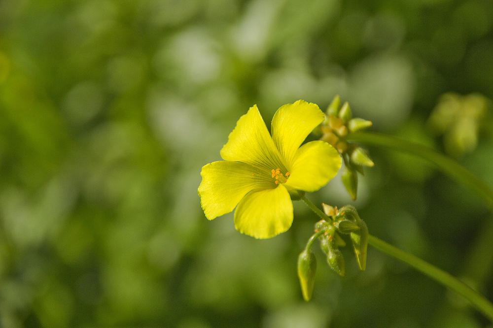 coimbra flor azedas