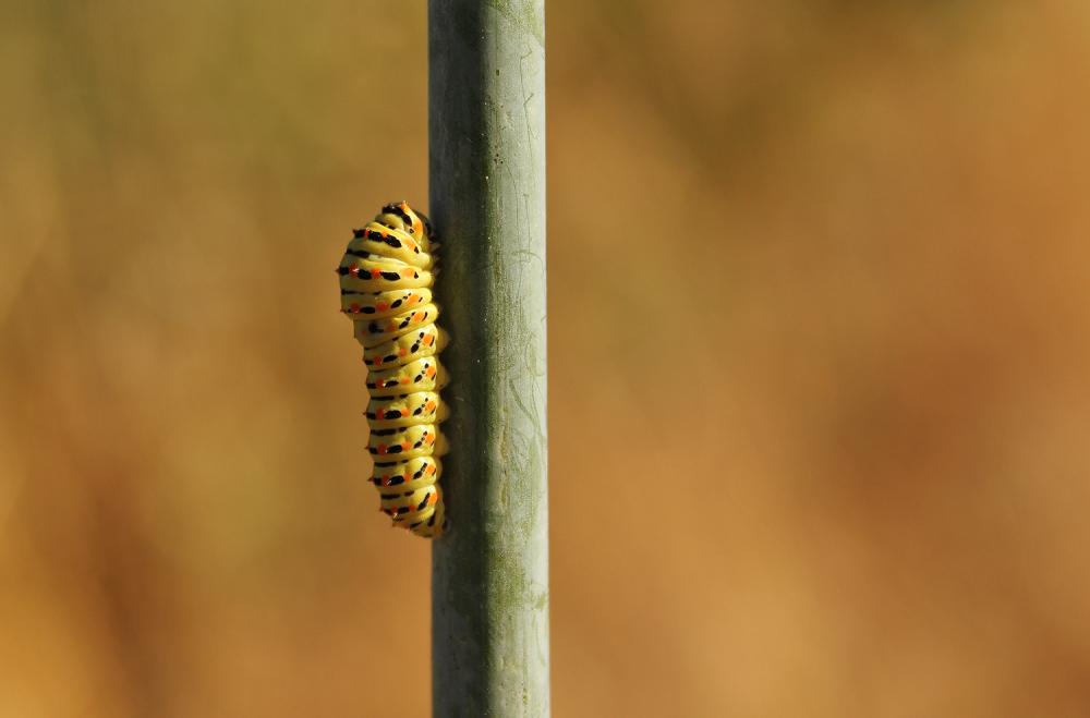 almaceda borboleta lagarta Borboleta cauda-de-ando