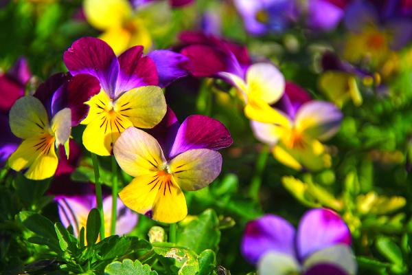 flor amor-perfeito