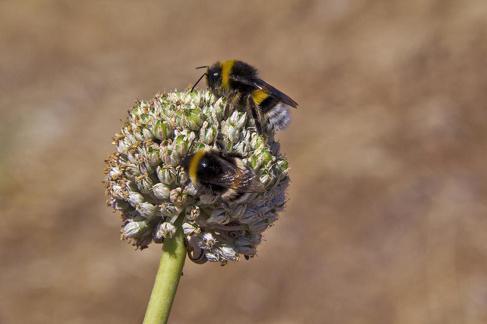 berlenga inseto abelha