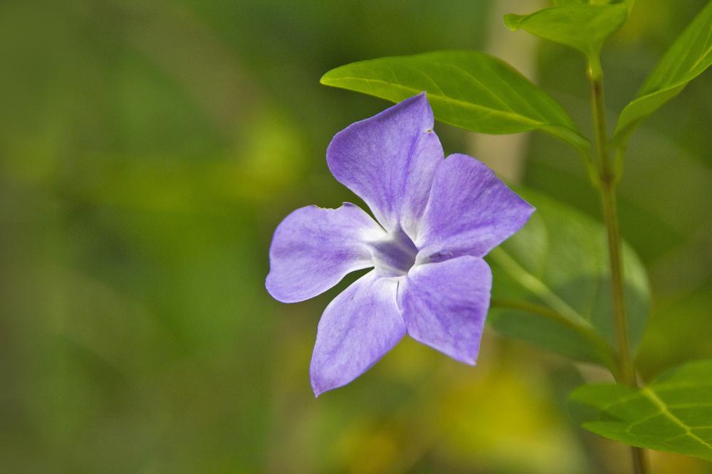 flor leiria pervinca