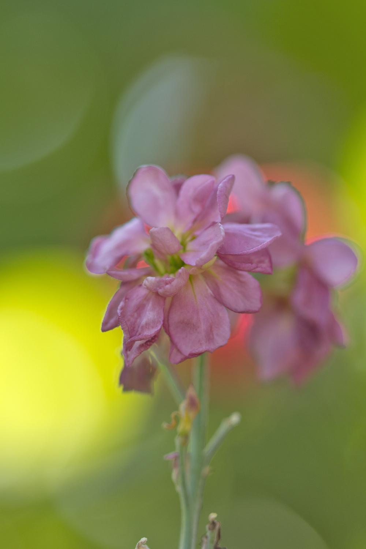 flor coimbra