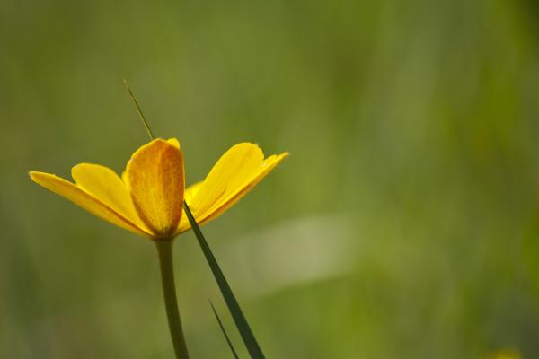 flor pnsac amarelo