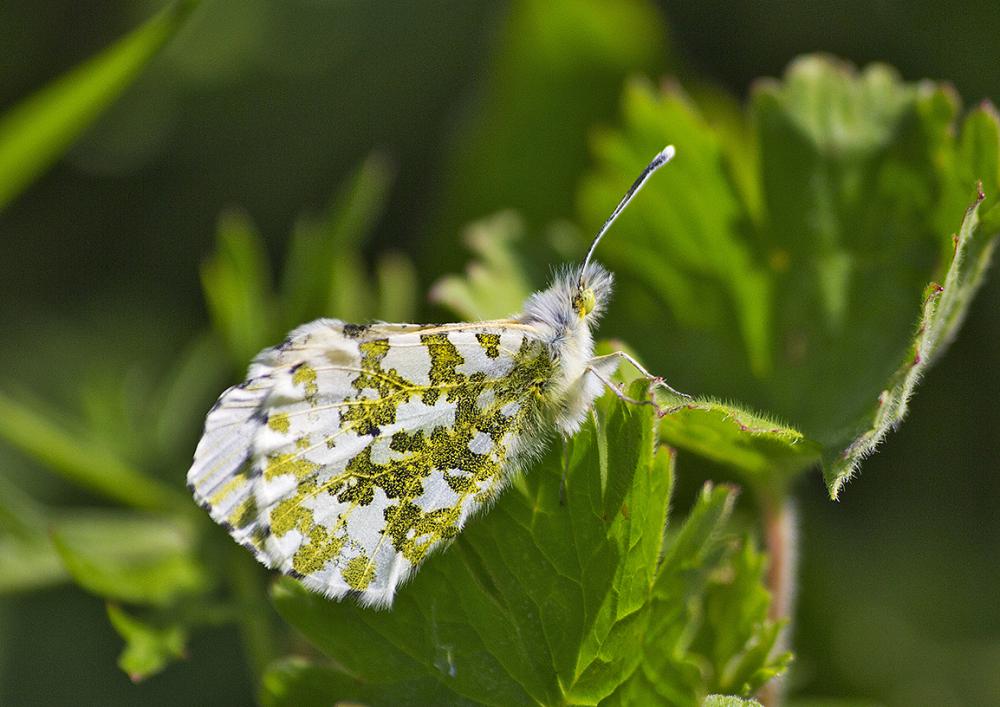 borboleta pnsac