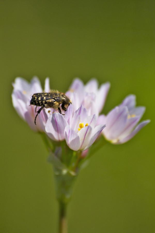 flor pnsac coleoptera
