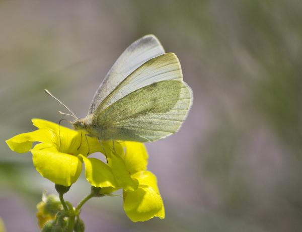 ria-de-aveiro borboleta
