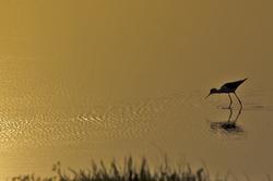Perna longa (Himantopus himantopus)
