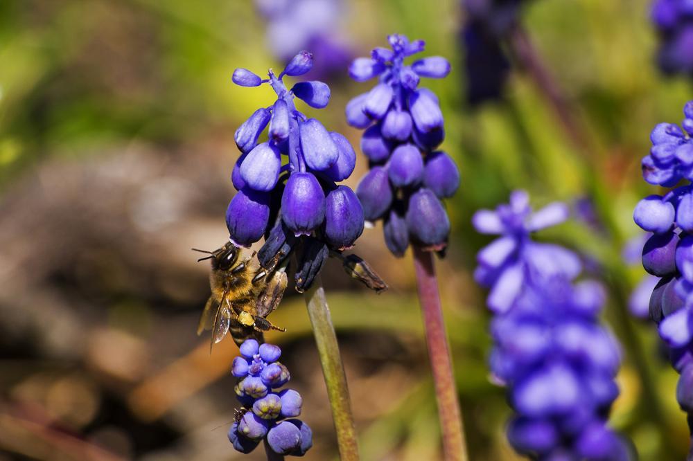flor pnsac abelha