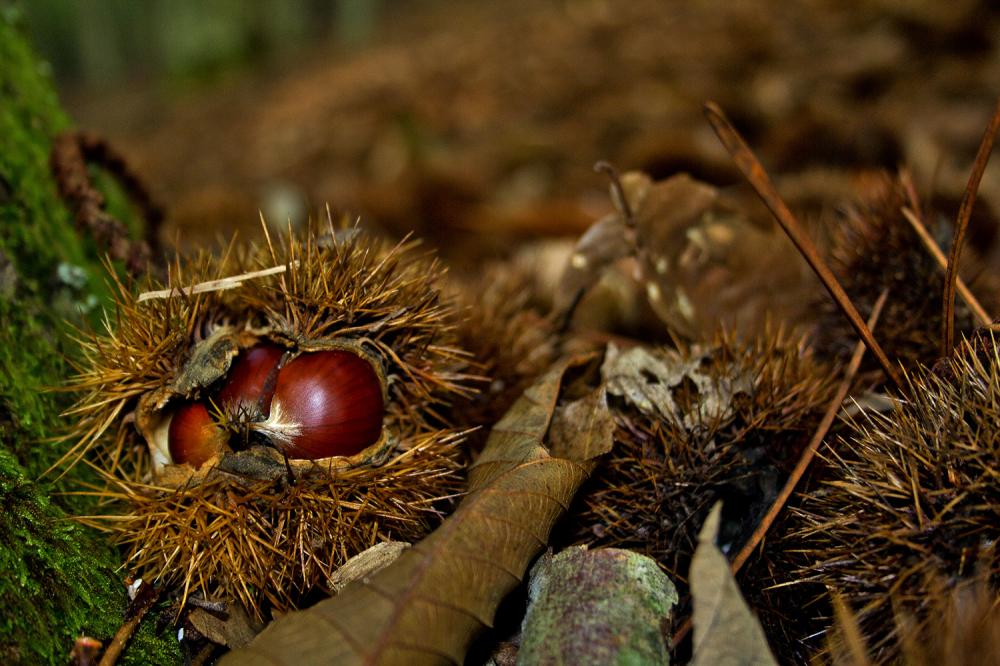 lousã outono castanhas