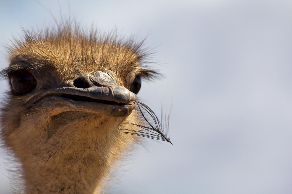 avestruz porto-covo